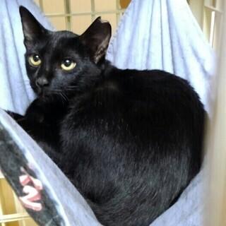 つやつやの黒娘10か月齢 黒母猫(3才)と