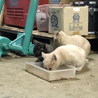 ミルクティー色の子猫