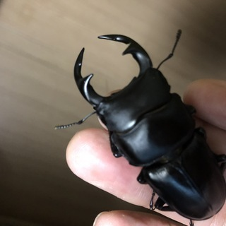 ●マツノインセクト 久留米産 国産オオクワガタ 新成虫 オス 5...