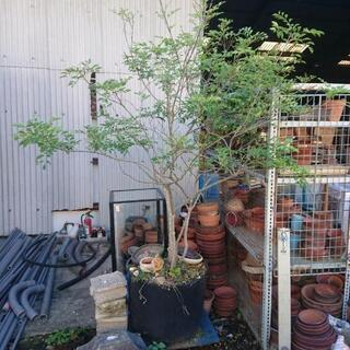 植木 庭にいかがでしょうか