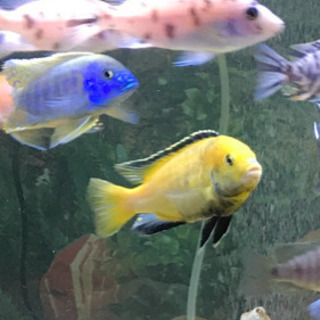 熱帯魚アフリカンシクリッド激安!ありがとうございます決まりました❣️