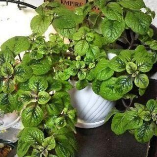 観葉植物/スウェーデンアイビー