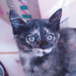 性格良し可愛いサビ猫里親さん探してます