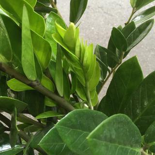 観葉植物 ザミオカルカス - 大阪市