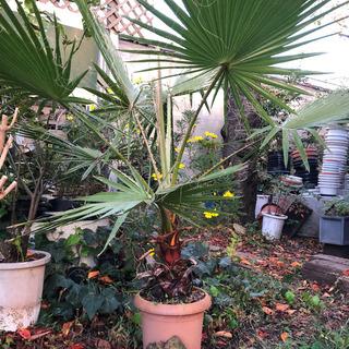 状態のいいワシントンヤシ鉢植え1.5m