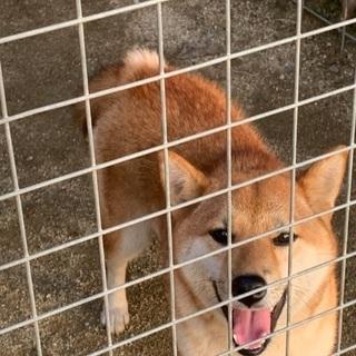 柴犬 メス 1歳
