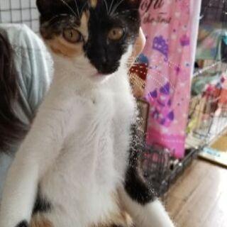 至急募集!可愛い子猫2匹  姉妹  3ヶ月すぎ