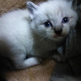 元気な4兄弟姉妹の内のオスとメス2匹(1.5か月位) - 猫