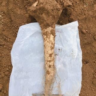 ヤマイモ  無農薬  掘り立てです!ネバリスター  約3キロ