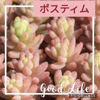 多肉植物【セダム・ポスティム】カット。
