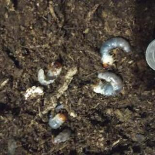 残り1匹)ニジイロクワガタの幼虫☆オマケにカブトムシの幼虫♪