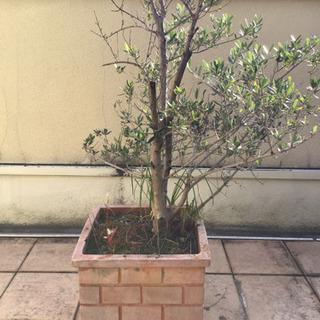 オリーブ苗&テラコッタ風鉢