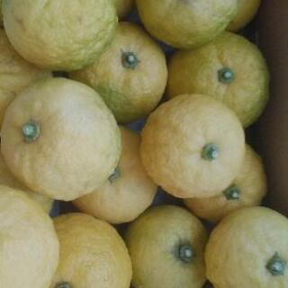 完全無農薬  ゆず  柚子  ユズ