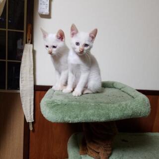 里親募集中:白の仔猫オス2匹