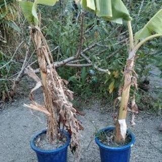 🔴🔶🔹バナナ🔹果物苗木 🔹🔶🔴