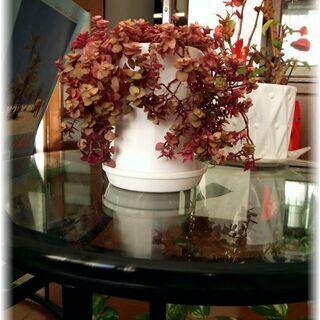 【観葉植物】カリシア属カリシア・レペンス白いプラポット入り