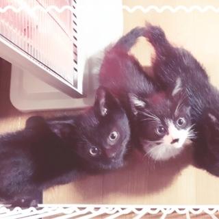 急募!生後1ヵ月 野良が産み捨て育児放棄された兄弟仔猫3匹 男の...