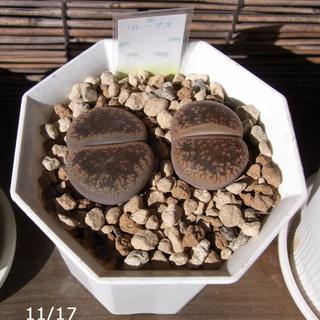 多肉植物・リトープス・不明種