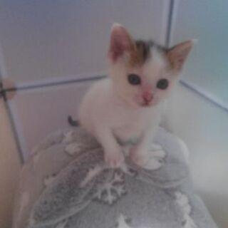 里親様決定。 生後1ヶ月半 子猫2匹譲渡可能になりました。