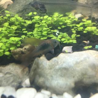 コリドラス long fin 熱帯魚