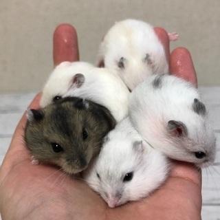 パール、イエロー、ノーマルのハムスターの赤ちゃん5匹
