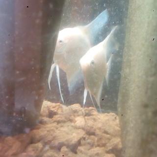 プラチナエンゼルフィッシュ ペア⑦尾びれ短い個体同士