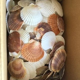 二枚貝の貝殻 一箱
