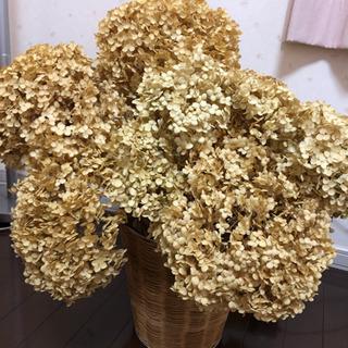 紫陽花 アナベル ドライフラワー アジサイ