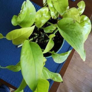 観葉植物 ポトスライムグリーン