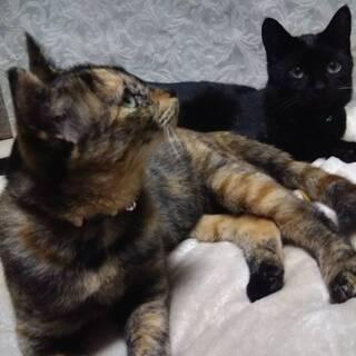 黒とサビの兄妹猫さん、2匹一緒での募集です!