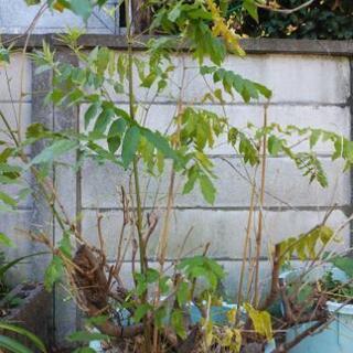藤と竹(重量あります)、紫陽花、カニシャボ他