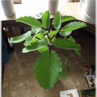【複数でも同価格セール】幸せのマザーリーフ 草丈30~40cm(*'∇'*)*+:。.。:+*(*'∇'*) − 兵庫県