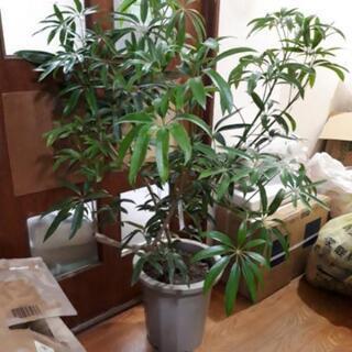 観葉植物 シェフレア