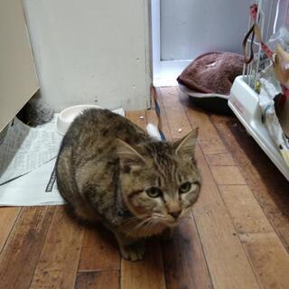 可愛いネコ 生後6ヶ月位 キジトラ尻尾短オス   メス クロネコ - 猫