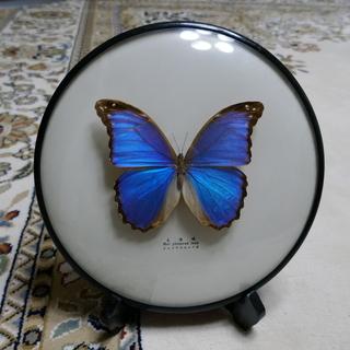 モルフォ蝶の標本 丸いケースとスタンド立て付き