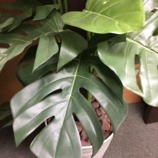 擬木の観葉植物(モンステラ?)