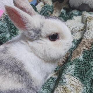 ミニウサギ(オス)の里親さん募集です