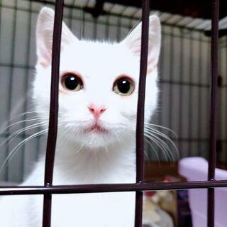 【里親さん決定★】生後5ヶ月くらいのふわもこ白猫「エル」ちゃん♀