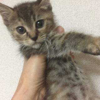 キジトラ・黒猫(生後2ヶ月くらい)の里親様を募集しています