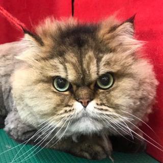 ペルシャ猫です!