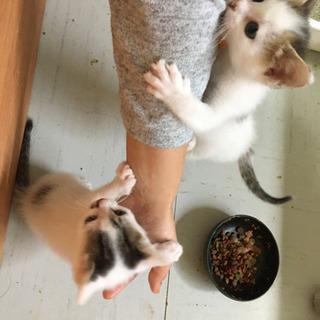 生後1ヶ月半の子猫の里親募集