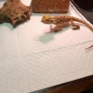 デュビア 🦎爬虫類や食虫動物の餌、おやつにいかがですか🦔