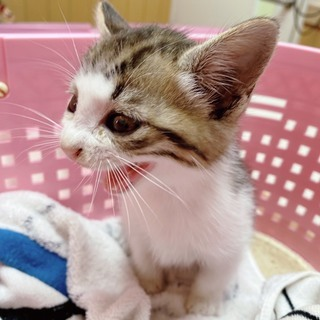 保護したキジトラ子猫さんの里親募集です