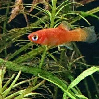ショートプラティ(バルーン 赤 メダカ熱帯魚アクアリウム)