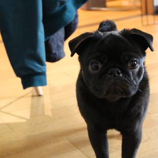 黒パグです。お願いします。