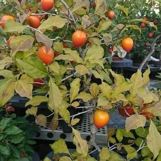 老鴉柿の実 各種 混ぜてあります