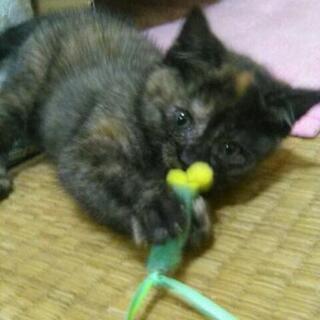 里親募集してます、推定1ヶ月の子猫です。外で産まれていま保…