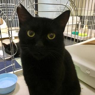 デカ黒猫のミラの家族になってください。