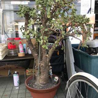 植物 観葉植物 中古 リサイクルショップ宮崎屋19.11.…