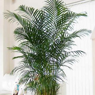 アレカヤシ(観葉植物・170cm・10号鉢)お譲りします